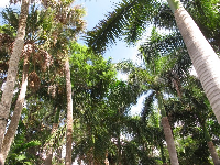 Looking up at the huge royal palms.