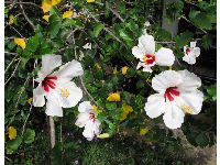 White and red hibiscus.