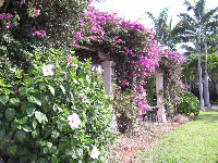 Purple bougainvillea on the pergola.
