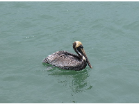 Pelican in the inlet.