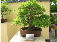 Willow Leaf Ficus bonsai tree (a tree artistically shaped in a container)- trees found in Florida are emphasized in the wonderful bonsai garden.