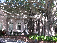 Strangler fig tree outside College Hall (former Ringling estate).