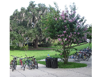 Bikes, flowering tree, and oak tree hung with Spanish moss.