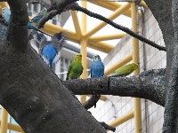 Blue and white parakeet, and yellow and green parakeet.