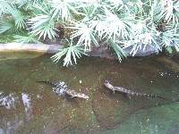 Baby alligators.
