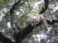 Spanish moss catching the light.