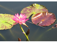 Water lily catching the light.