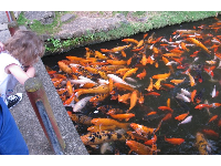 A child enjoys watching the many koi!