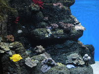 Lava rock, coral, and yellow tang.
