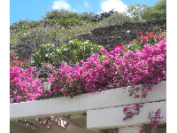 Bougainvillea at the guard shack.