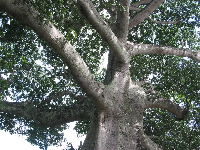 Looking up at the Kapok tree.