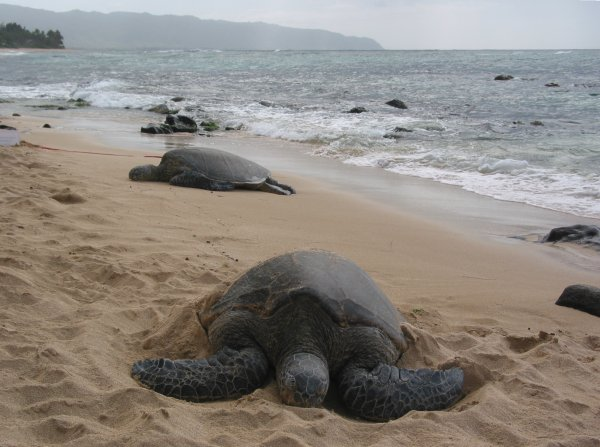 Turtle Beach, or Laniakea Beach, Oahu Hawaii