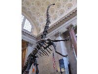 The Roosevelt Rotunda is one of the most stunning areas of the museum- the size of the dinosaur will awe you!