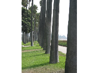 Palms, in a perfect row.
