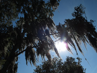 Morning sun and Spanish moss, at the lakeside walking path on campus.