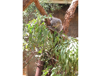 A koala gripping on to his tree.