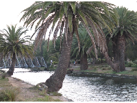Canary palms along the canal.