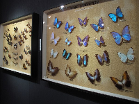 Incredible iridescent butterflies from South America.