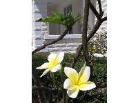 Frangipani flowers outside the schoolhouse.