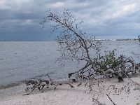 Driftwood on the shore of the Indian River.