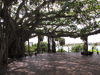 The incredible banyan tree at the foot of the lighthouse.