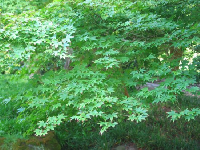 Japanese Maple Tree, in the moon garden, at Strybing Arboretum, in Golden Gate Park.