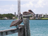 Pelicans at the dock!