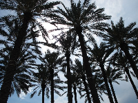 Cluster of palms in front of the children's museum.