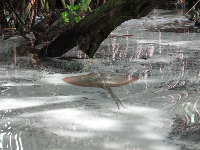 An Atlantic stingray in the beautiful mangrove area.