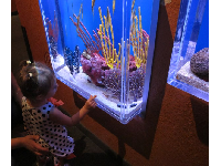 A little girl looks at seahorses.