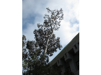 Very tall silver eucalyptus tree on north end of campus.