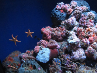 Common Feather Stars in a beautiful tank with coral.