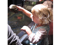 A toddler takes a closer look at sealife in the touch tank.