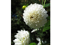 White dahlia at the plantation.