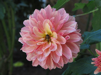 Dahlia and bee at the plantation.