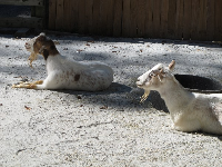 Goats at the plantation.