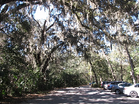 Amazing trees with Spanish moss in the parking lot.