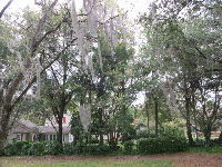Spanish moss on a telephone line!
