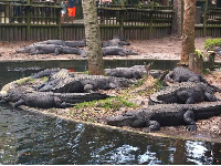 Alligators relaxing on the shore.