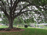Big oak tree by Mennello Museum of American Art.