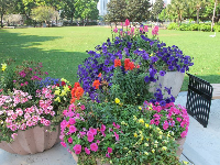 Large pots of flowers at the park, across from Panera Bread.
