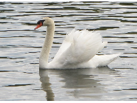 A swan with open wings, looking just like the  paddle boats!
