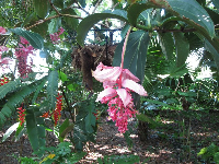 Pink tropical flower, plus Lobster Claw Heliconias in the background.