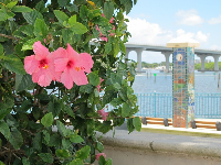 Pink hibiscus with bridge behind.