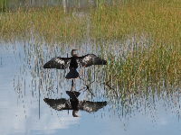 Anhinga bird and reflection.