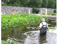 A dedicated gardener attends to the lotus plants.