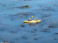 Kayaking among the kelp.