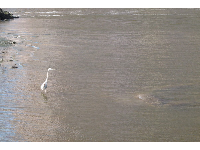 A white egret and three manatees in the water at the South Cove Natural Area near the Royal Palm Bridge, on a February morning.
