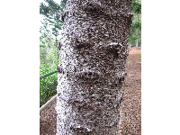 Closeup of a Cook pine trunk.