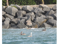 Pelicans enjoy a stormy current in the inlet.